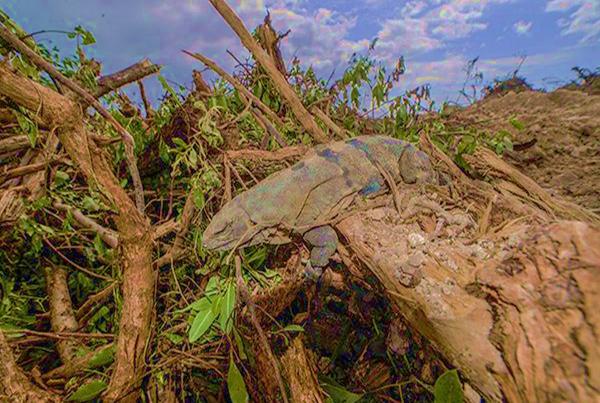 Iguana asesinada durante la devastacion.png